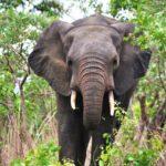 ガーナのモレ国立公園でゾウを見るのだ!(2018年5月12日)