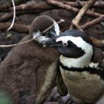 ボルダーズビーチで野生のペンギンを見るのだ(2018年6月14日~15日)