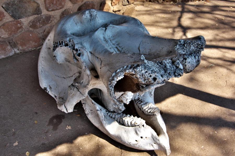 ゾウの頭蓋骨