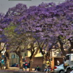 【ジンバブエ】ブラワヨからマシンゴへ移動。ジャカランダいっぱい(2018年9月19日)