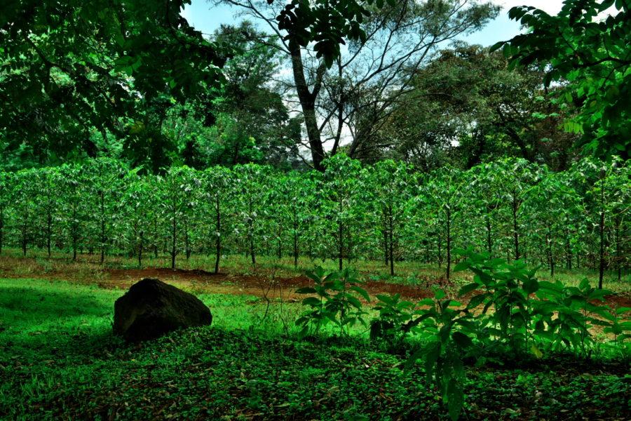 キリマンジャロコーヒー畑